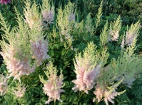 Astilbe chinensis 'Milk and Honey' - pixieperennials@gmail.com