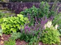 Salvia verticillata 'Purple Rain', Actaea Acerina - pixieperennials@gmail.com