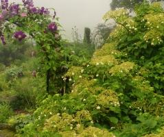 Clematis and Hydrangea petiolaris-pixieperennials@gmail.com