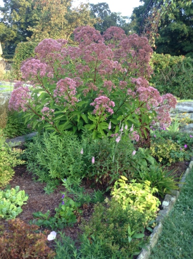 Eupatorium purpureum 'Little Joe' - pixieperennials@gmail.com