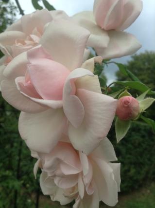 'New Dawn' Climbing Rose - pixie perennials@gmail.com
