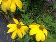 Rudbeckia laciniata - pixieperennials@gmail.com