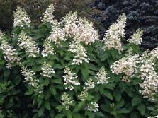 Hydrangea paniculata Tardiva - pixieperennials@gmail.com