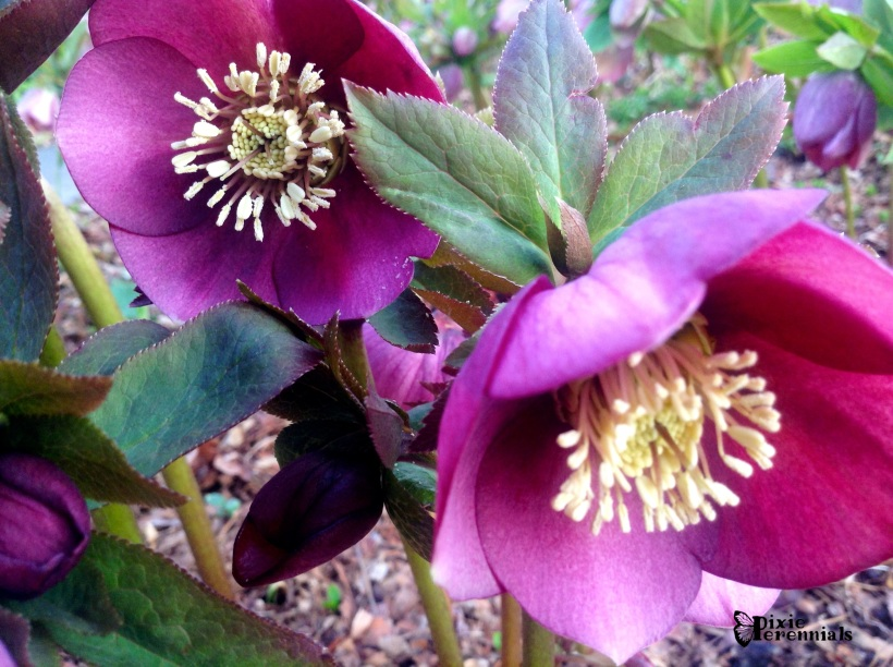 Hellebores are one of the easiest long blooming perennials you can grow.