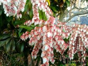 Pieris japonica 'Dorothy Wycoff'