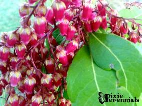 Pieris japonica 'Valley Valentine' - pixieperennials.com