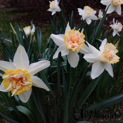 Daffodil - pixieperennials.com