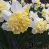 Narcissus - pixieperennials.com