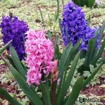 Hyacinth - pixieperennials.com