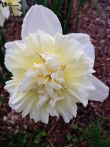 Daffodils 2014 - pixieperennials