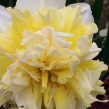 Daffodils 2014 - pixieperennials.com