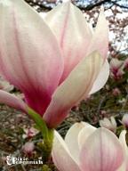Magnolia 2014 - pixieperennials.com