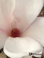 Magnolia 2014 -pixieperennials.com