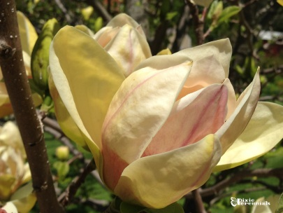 Magnolia - Hollister House Garden, Washington, CT. - pixieperennials.com