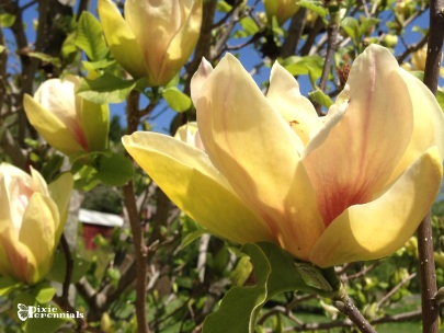 Magnolia -Hollister House Garden, Washington, CT. - pixieperennials.com