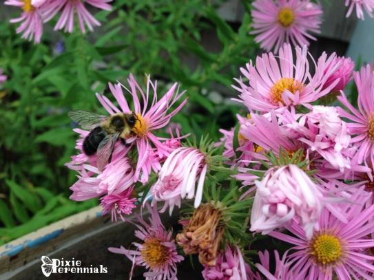 Aster novae-angliae Honeysong Pink - pixieperennials.com