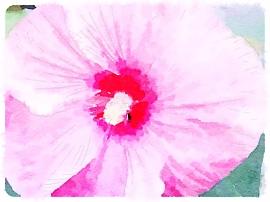 Hardy hibiscus -September 2014 - pixieperennials.com#Waterlogue