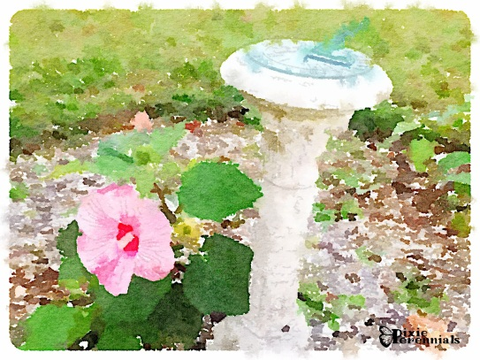 Sundial with Hardy hibiscus - September 2014 - pixieperennials.com#Waterlogue