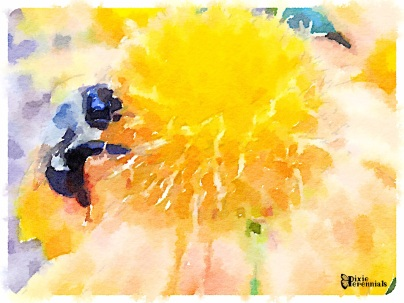 Bee on Gaillardia 'Arizona Apricot' - pixieperennials.com#Waterlogue