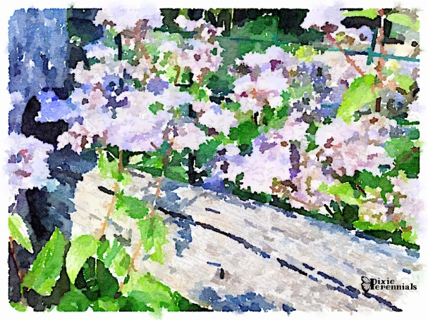 Eupatorium coelestinum on paddock fence by pines -September 2014 - pixieperennials.com#Waterlogue