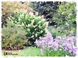Tardiva hydrangea and aster by vegetable garden - September 2014 - pixieperennials.com#Waterlogue