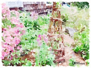 Willow stand by barn - September 2014 - pixieperennials.com#Waterlogue