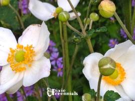 Anemone × hybrida 'Honorine Jobert' -pixieperennials.com