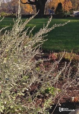 Artemisia ludoviciana - pixieperennials.com