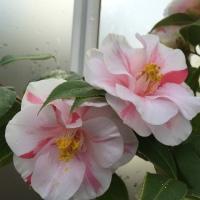 Camellia at Planting Fields - pixieperennials.com