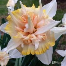 Daffodil Delnashuagh - pixieperennials.com