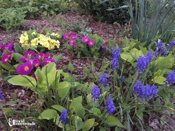Spring blooms - pixieperennials.com 2015