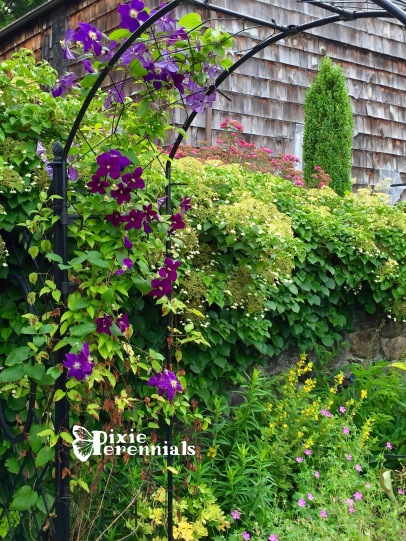 Clematis on arbor - pixieperennials.com