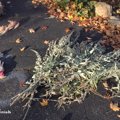 Artemisia/wormwood - pixieperennials.com