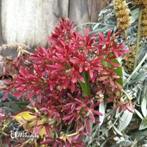 Heptacodium miconioides -pixieperennials.com